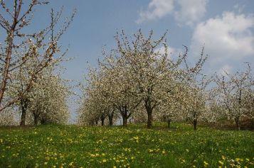 Kirschblüte01