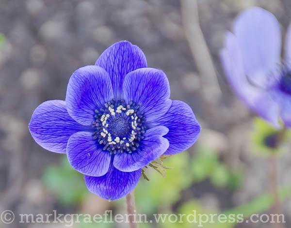 Anemone blau1