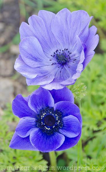 Anemone blau2