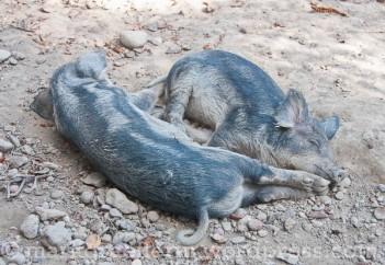 Wollschwein 6