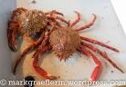 """Seespinne"" (araingnée de mer, spider crab)"