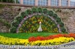 Chrysanthema 105