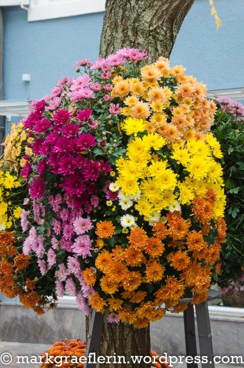 Chrysanthema 122