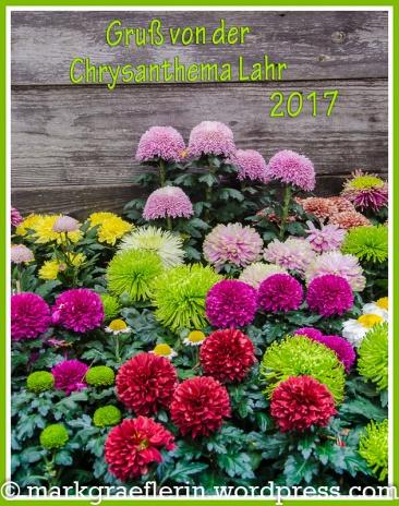 Chrysanthema Gruss