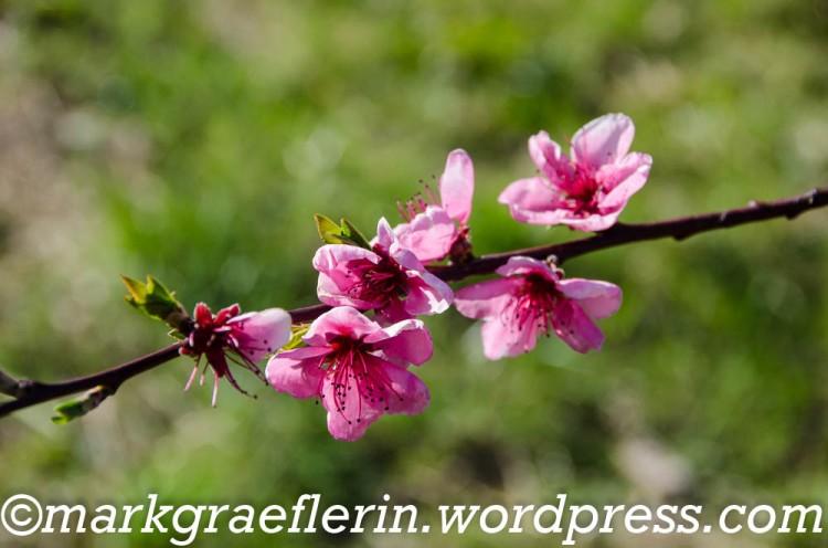 Kirschbluete 2020_26